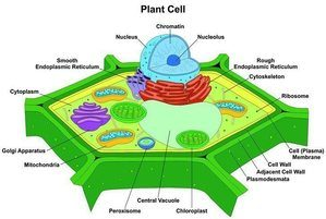 Bisection of a leaf cell