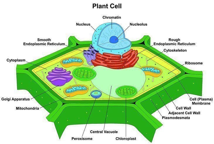 Bisection-of-a-leaf-cell-why-is-photosynthesis-important