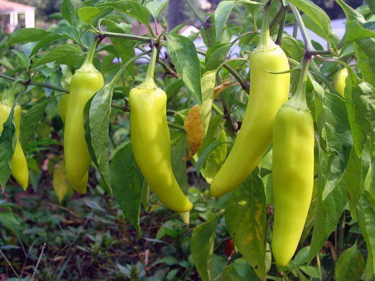 Fresh-banana-pepper-in-a-farm-when-to-pick-banana-pepper