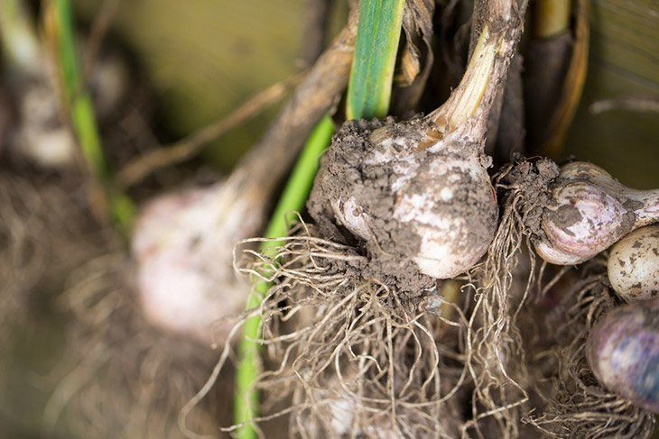 Garlic-bulbs-after-harvested-from-garden-how-to-grow-garlic-indoors