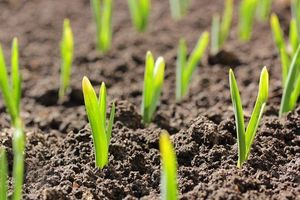 Garlic sprouts emerging out of soil