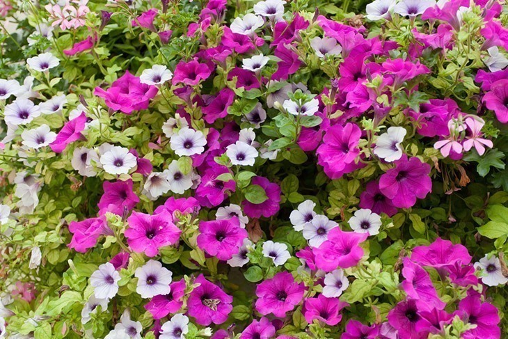 Grandiflora-petunias-in-multiple-colors-how-to-deadhead-petunias