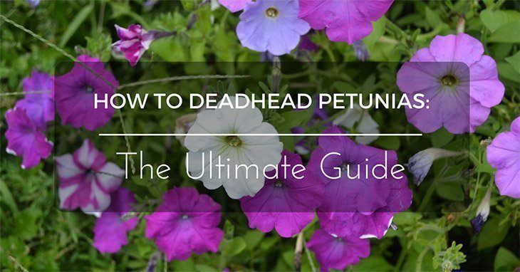 How to Deadhead Petunias