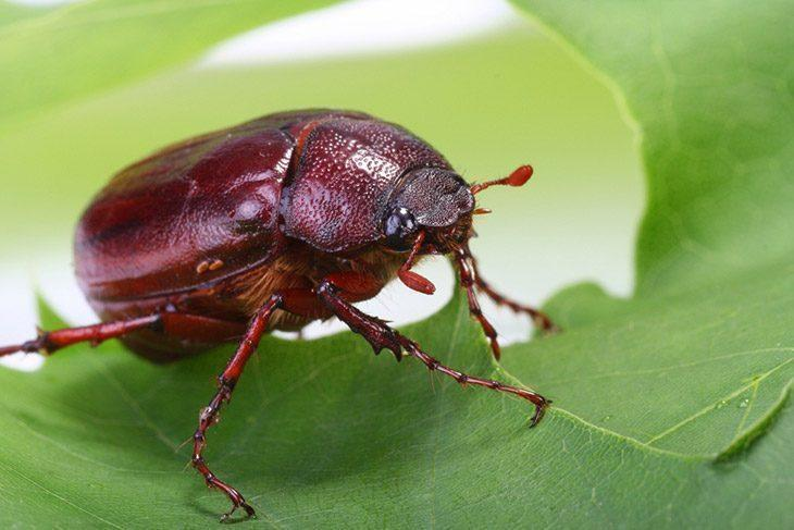 How to Get Rid of June Bugs (2019 Update): 6 Simple Steps for Removal