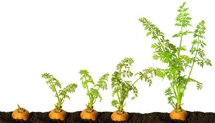 Phases-of-carrot-growth-what-does-carrot-sprout-look-like