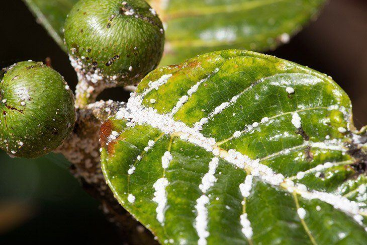 Plant-infested-with-mealybugs-how-to-get-rid-of-mealybugs