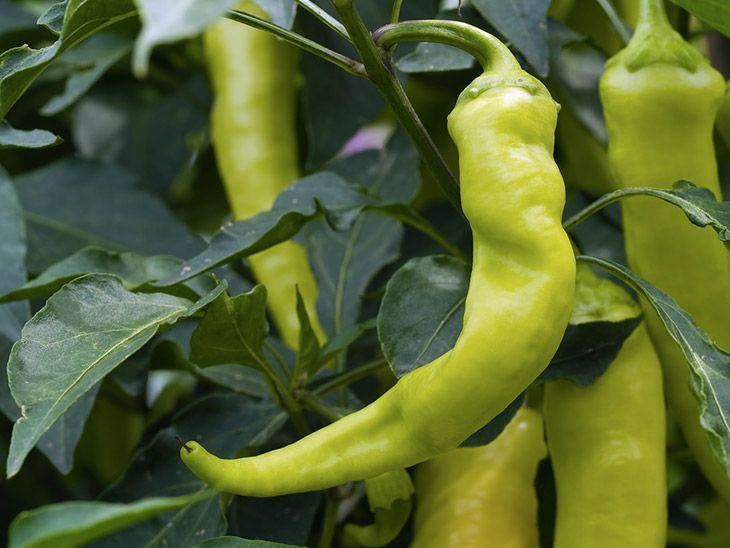 Ripe-banana-pepper-ready-to-harvesting-when-to-pick-banana-pepper