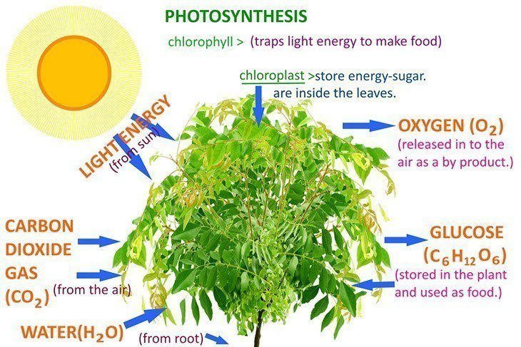The-process-of-photosynthesis-expounded-why-is-photosynthesis-important