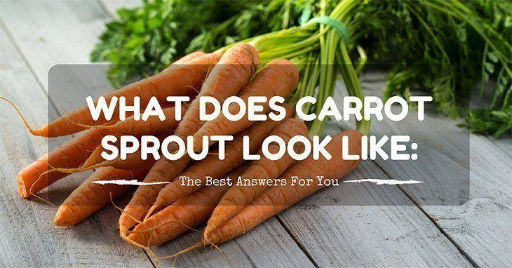 what does carrot sprout look like
