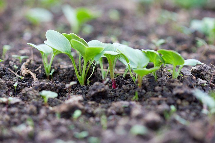 Young-radishes-in-a-seedling-how-to-store-radishes
