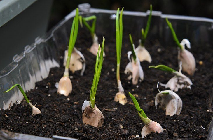 garlic-planted-into-small-pot-correctly-how-to-grow-garlic-indoors