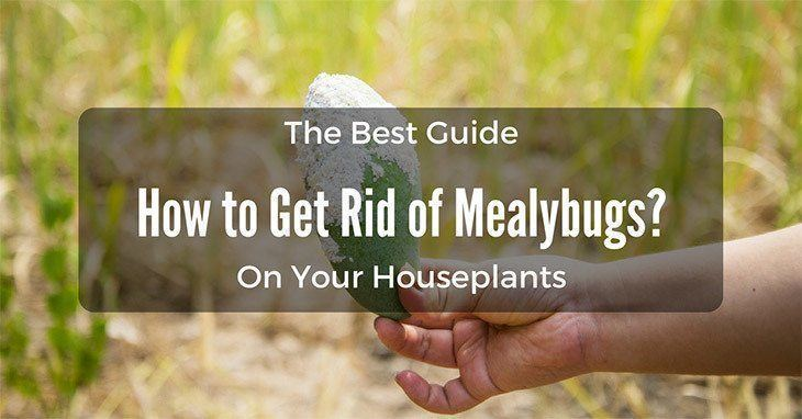 how-to-get-rid-of-mealybugs
