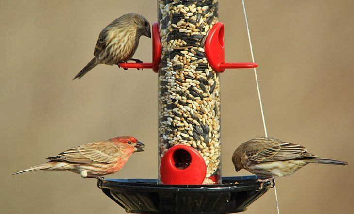 Three-finches-on-birdfeeder-how-to-keep-birds-from-eating-grass-seed