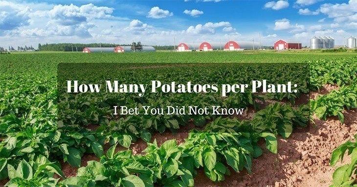 How Many Potatoes per Plant