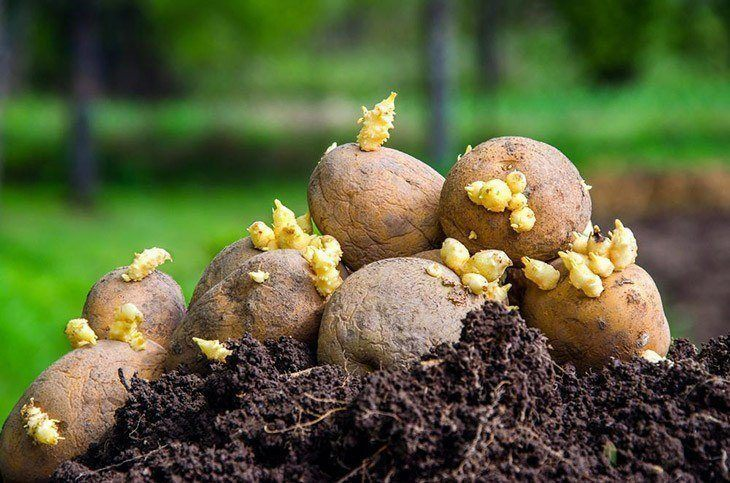 Mound-of-sprouted-seed-potatoes-how-long-do-potatoes-take-to-grow