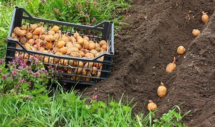 Rows-of-seed-potatoes-planted-How-Long-Do-Potatoes-Take-to-Grow