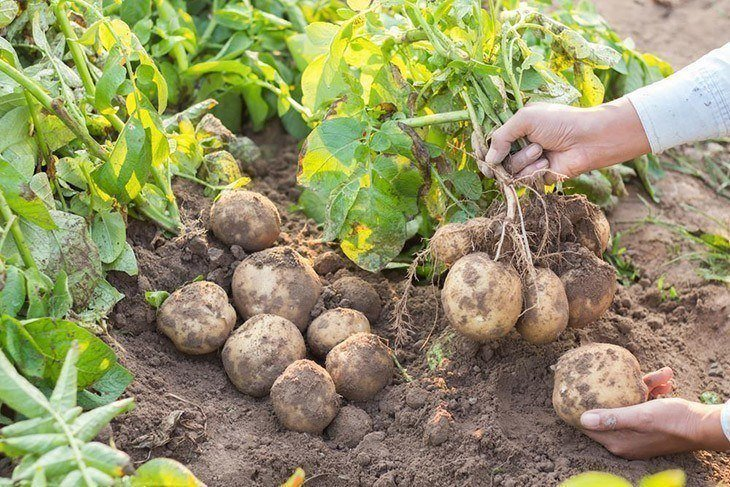 Potato-hand-harvesting-how-many-potatoes-per-plant