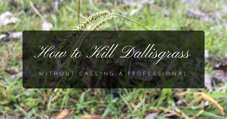 How to kill dallas grass
