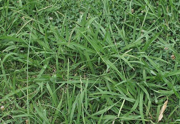 Post-Emergent-Treatments-how-to-kill-dallisgrass