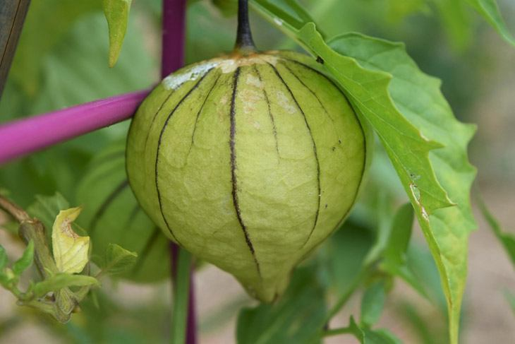 Tomatillo-hanging-in-the-garden-How-to-Store-Tomatillo