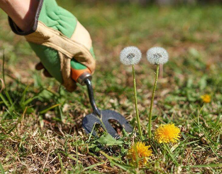 A-hand-weeding-the-lawn-and-the-grass-Best-Weeder