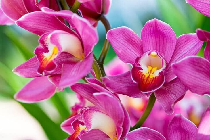A-picture-of-Cymbidium-Hybrid-Orchid-How-to-Transplant-Orchids