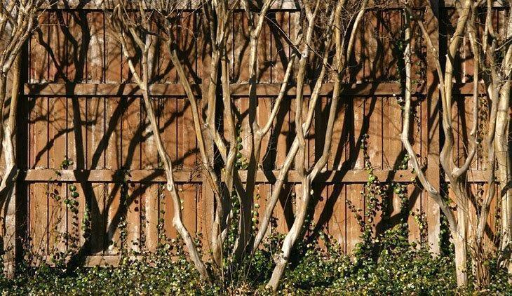 Bare-crepe-myrtle-trees-how-to-prune-crepe-myrtle