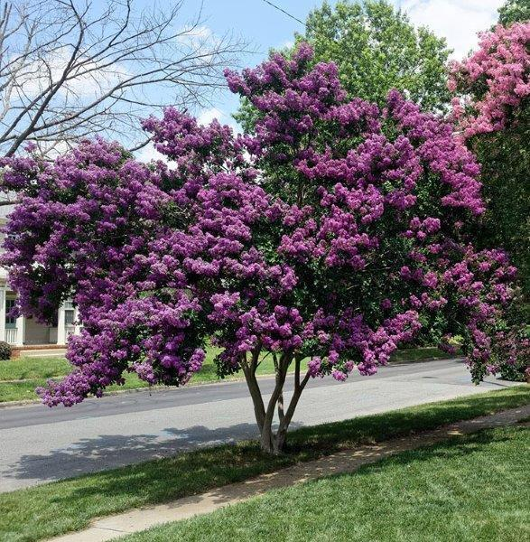Blooming-purple-crepe-myrtle-how-to-prune-crepe-myrtle