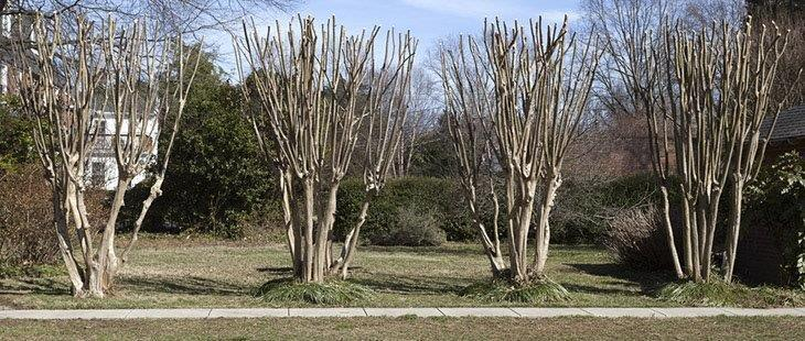 Horizontal-row-of-bare-or-pruned-crape-myrtle-how-to-prune-crepe-myrtle