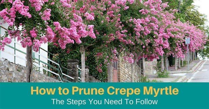 How to Prune Crepe Myrtle