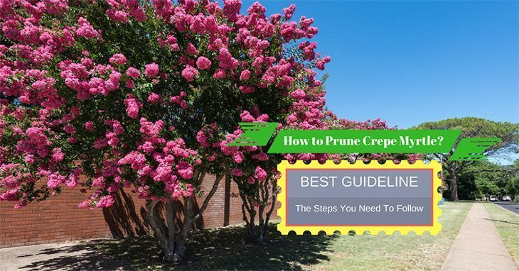 How-to-Prune-Crepe-Myrtle