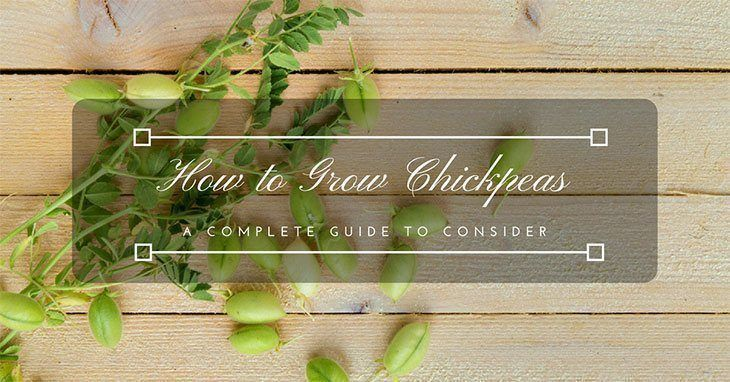 how-to-grow-chickpeas