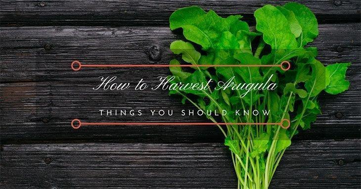 how-to-harvest-Arugula
