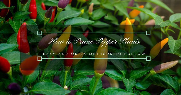 How-to-Prune-Pepper-Plants