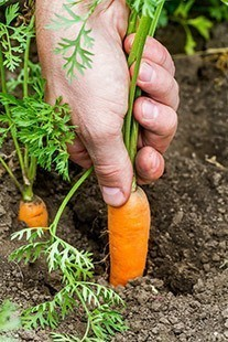 What Does Carrot Sprout Look Like: The Best Answers For You.