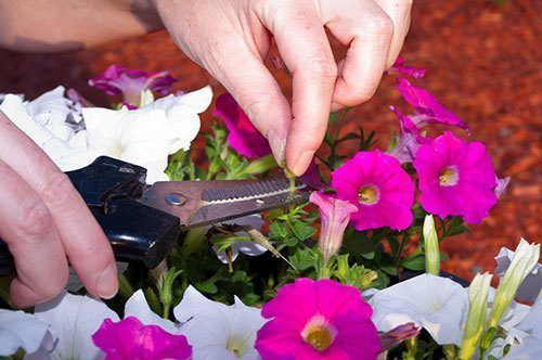 Cutting-off-the-seedpods-on-a-pot-of-petunias