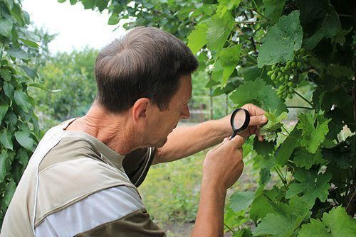 Gardener-inspects-grape-leaves-with-magnifying-glass-in-search-of-pests-and-diseases.-On-leaves-there-are-blisters-from-grape-tick-and-damages