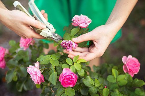Girl-cuts-or-trims-the--bush-(rose)-with-secateur-in-the-garden