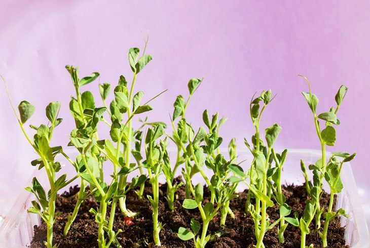 Green-bean-sprouts-on-the-soil-in-the-vegetable-garden-and-have-