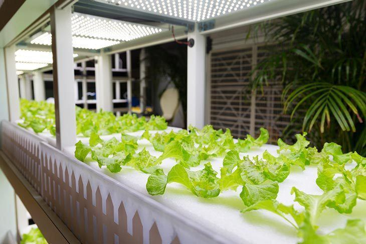 Lettuce-cultivated-in-hydroponic-system-at-indoor