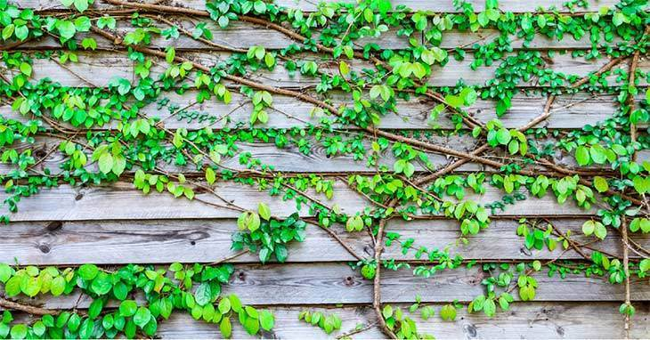 Climber plant on wood plank
