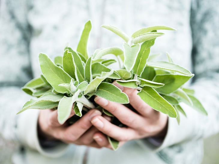 A bunch of fresh wild sage in a woman's hands
